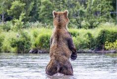 De bruine beervissen Stock Afbeeldingen