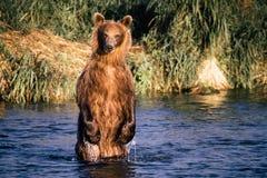 De bruine beervissen Stock Afbeelding