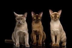 De bruine die katten van Birma op zwarte achtergrond worden geïsoleerd stock afbeelding