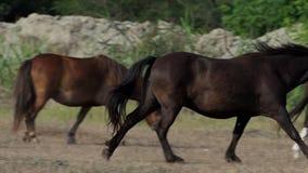 De bruine draf van het poneypaard onder zijn kudde op een gazon in slo-mo stock video