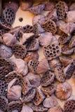 De bruine droge zaadloze peulen van de lotusbloembloem Royalty-vrije Stock Afbeelding
