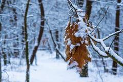 De bruine eik verlaat het hangen op een tak en behandeld in witte sneeuw, wit sneeuwbos met bomen op de achtergrond stock afbeeldingen
