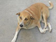 De bruine en witte zitting van de kleuren verdwaalde hond op weg royalty-vrije stock fotografie