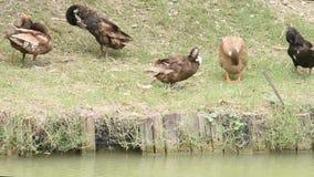 De bruine en zwarte eenden maken hun veren door de vijver schoon stock footage