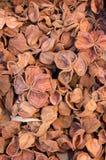 De bruine geopende peulen van de landlotusbloem op een stapel Stock Afbeelding