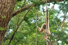 De bruine gibbon Stock Foto's