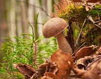De bruine GLB-boleetpaddestoel groeit in bos Latijnse scabrum van naamleccinum royalty-vrije stock fotografie
