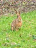 De bruine hazen van Pasen, Lepus-europaeus Peebles, Schotland royalty-vrije stock fotografie
