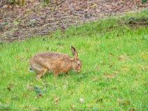 De bruine hazen van Pasen, Lepus-europaeus Peebles, Schotland stock foto's