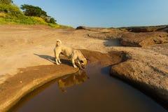 De bruine hond drinkt water Stock Fotografie