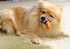 De bruine hond eet heerlijk kippenbeen op concreet F stock foto