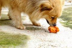 De bruine hond eet heerlijke kip op de concrete vloer stock foto's