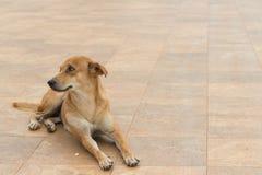 De bruine hond ligt ter plaatse Stock Foto's