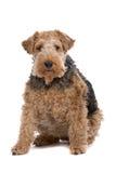 De bruine hond van de Fox-terrier Stock Foto