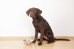 de bruine hond van Labrador eet hondevoer uit een kom Stock Foto
