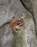 De bruine kikker die van Litte steenrots beklimt stock foto