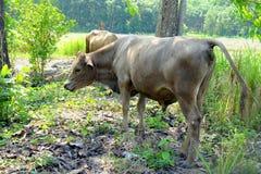 De bruine koe is anale faecaliën De koe zuivert koe anale fece royalty-vrije stock foto's