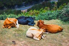 De bruine koeien bij de ingang aan de sleep aan fontes van Levada das 25 en Levada doen Risco, Madera Stock Fotografie