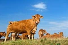 De bruine koeien van Limousin Stock Fotografie