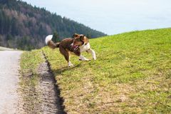 De bruine looppas van de herdershond op weide stock afbeelding