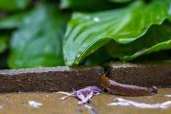 De bruine naaktslak kruipt op de natte het bedekken plak in de regen op zoek naar een groen blad royalty-vrije stock fotografie