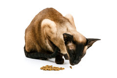 De bruine Oosterse kat eet Op een witte achtergrond Royalty-vrije Stock Afbeeldingen