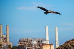 De bruine pelikaan vliegt dichtbij industriële schoorstenen royalty-vrije stock foto