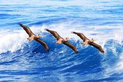 De bruine pelikanen tijdens de vlucht ~ Pelecanus van Californië Stock Afbeelding
