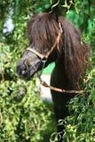 De bruine poney van Nice met lange manen Stock Foto's