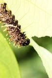 De bruine rupsbanden eten de bladeren stock foto