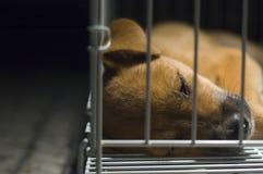 De bruine Slaap van het Puppy in Kooi Royalty-vrije Stock Afbeeldingen