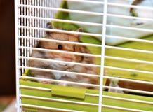 De bruine Syrische hamster knaagt aan binnen een kooi Stock Foto