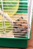 De bruine Syrische hamster knaagt aan binnen een kooi, enthousiast aan vrijheid Royalty-vrije Stock Fotografie