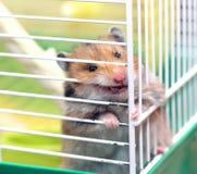 De bruine Syrische hamster knaagt aan binnen een kooi, enthousiast aan vrijheid Royalty-vrije Stock Afbeelding