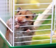 De bruine Syrische hamster knaagt aan binnen een kooi, enthousiast aan vrijheid, toont Stock Fotografie