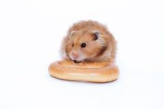 De bruine Syrische hamster knaagt aan heerlijk ongezuurd broodje Royalty-vrije Stock Fotografie