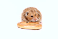 De bruine Syrische hamster knaagt aan heerlijk ongezuurd broodje Royalty-vrije Stock Foto's