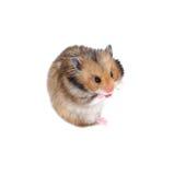 De bruine Syrische hamsterzitting en het tonen van tong plagen geïsoleerd Royalty-vrije Stock Afbeeldingen