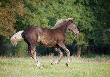 De bruine veulen lopende galop op een de herfstweide royalty-vrije stock fotografie