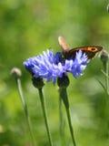 De bruine vlinder van de weide stock afbeeldingen