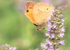 De bruine vlinder van de weide Royalty-vrije Stock Afbeeldingen
