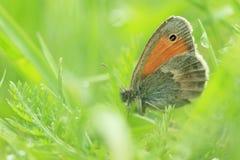 De bruine vlinder van de weide Stock Foto