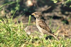 De bruine vogel in het gras Royalty-vrije Stock Afbeeldingen