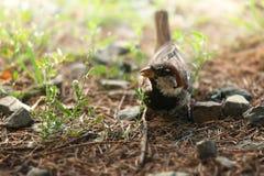 De bruine vogel in het gras Royalty-vrije Stock Foto's