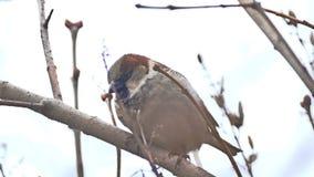 De bruine vogel van de muszitting op de boom van de aardtak stock videobeelden