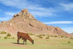 De bruine wilde alpaca eet gras royalty-vrije stock afbeeldingen