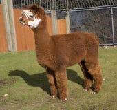 De bruine Witte Lama van de Alpaca van het Calico Stock Afbeeldingen