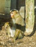 De bruine zitting die van de macaqueaap ter plaatse een dierlijk portret van de beetje boos of ernstig primaat kijken royalty-vrije stock afbeelding