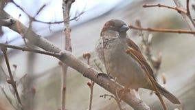 De bruine zitting van de musvogel op de boom van de aardtak stock footage