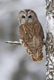 De bruine zitting van de vogel Getaande uil op boomboomstam met sneeuw tijdens de koude winter royalty-vrije stock foto